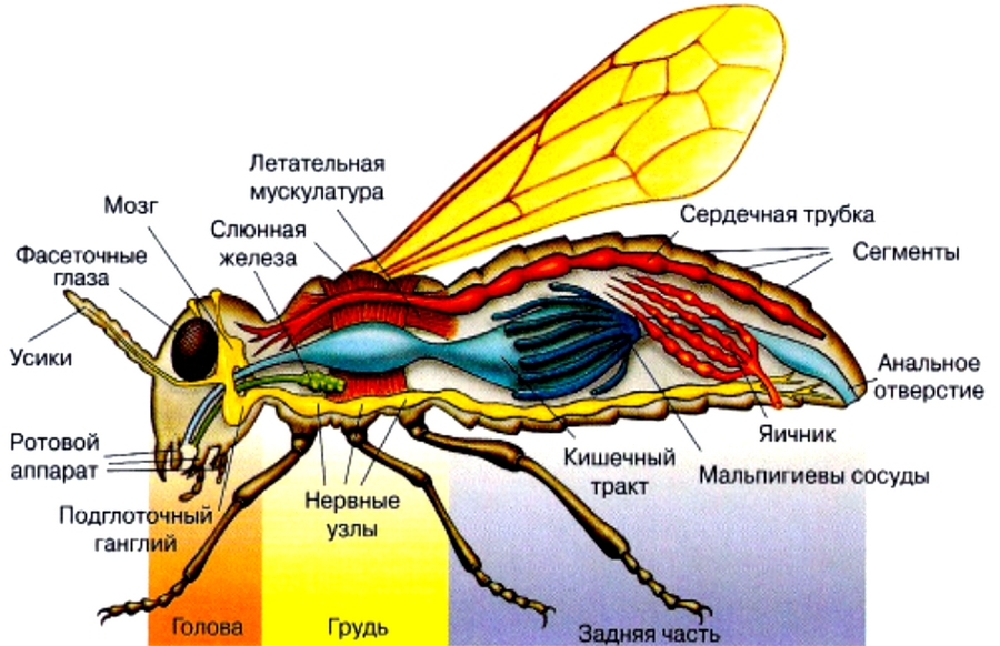 Органы насекомых картинка