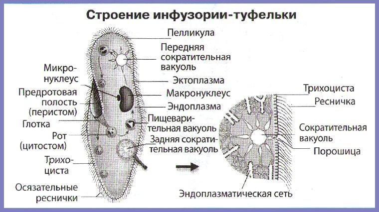 инфузория