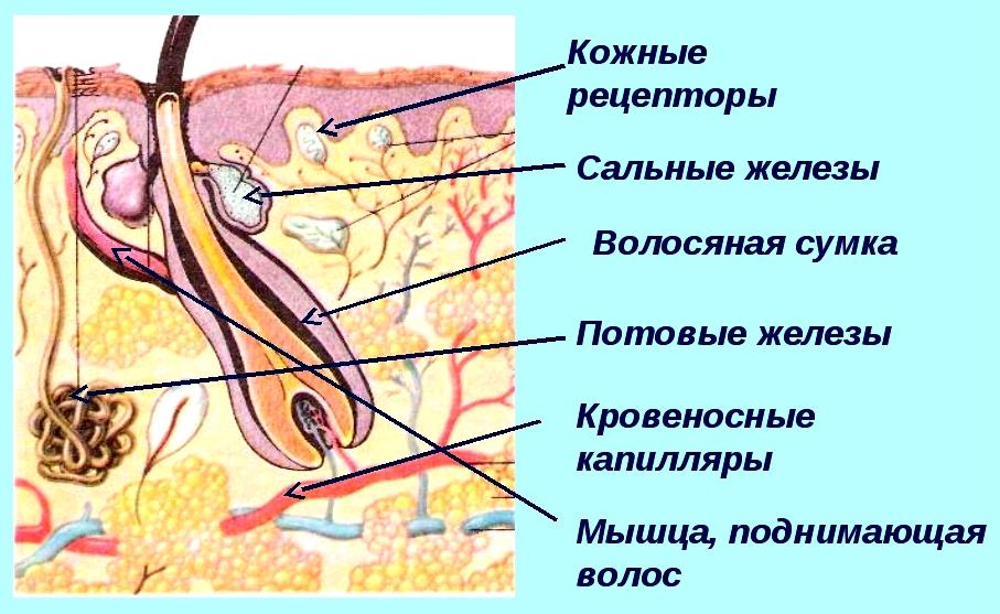 кожа млекопитающего