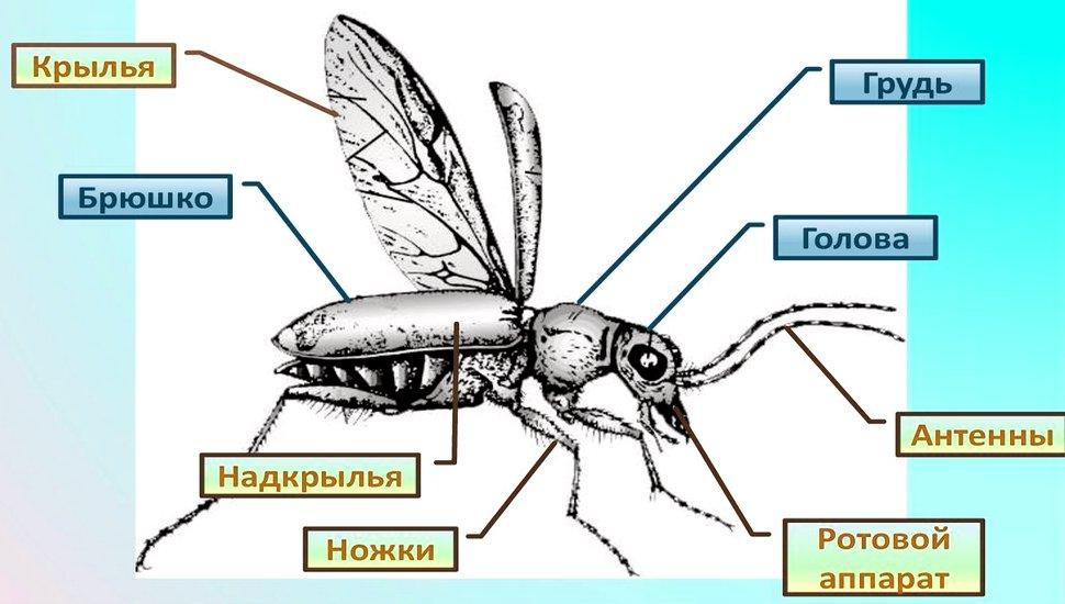 насекомое внешнее строение