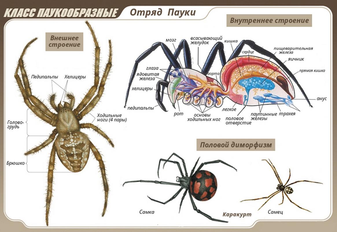 Класс Паукообразные отряд пауки