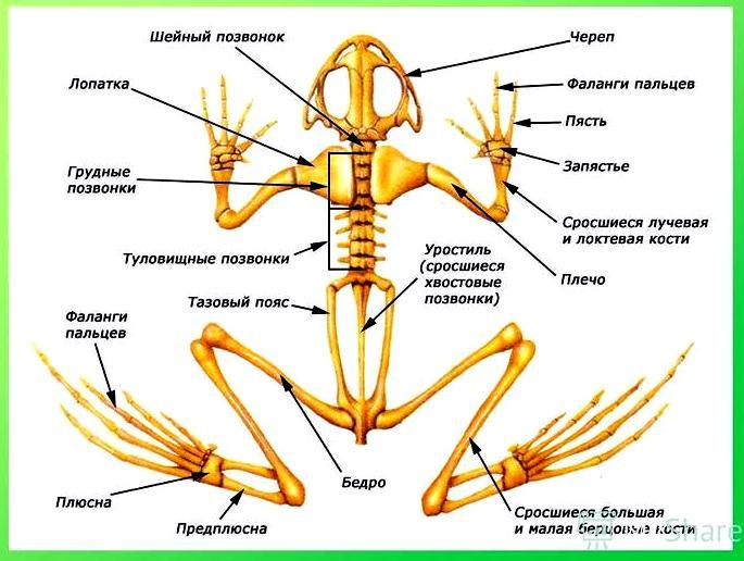 земноводные скелет лягушки
