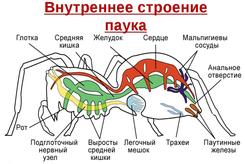 Класс Паукообразные Внутреннее